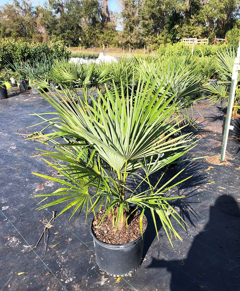 trachycarpus-fortunei-windmill-palm-chusan-palm