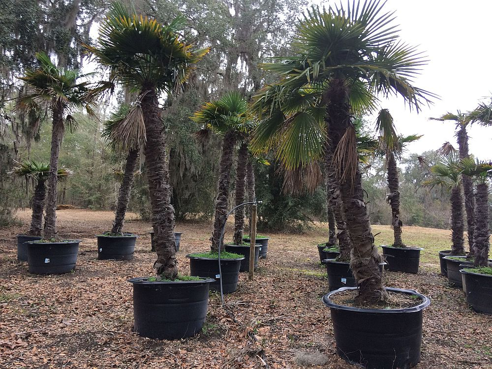 trachycarpus-fortunei-windmill-palm