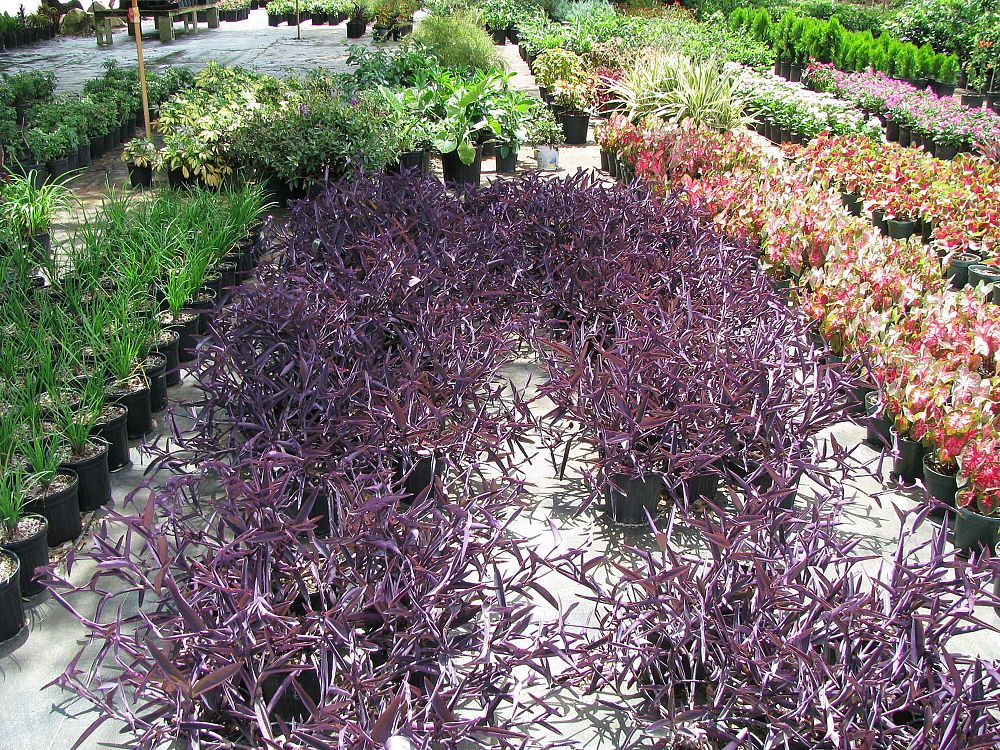tradescantia-pallida-purpurea-purple-queen-purple-jew-setcreasea-purpurea-purple-heart