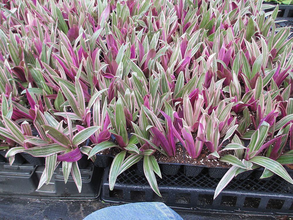 tradescantia-spathacea-tricolor-oyster-plant-variegated-dwarf-rhoeo-plant-moses-in-a-cradle