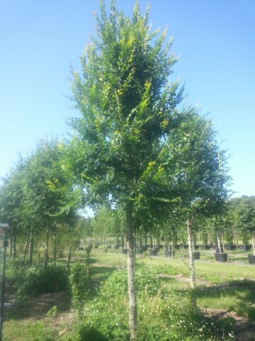 ulmus-alata-winged-elm