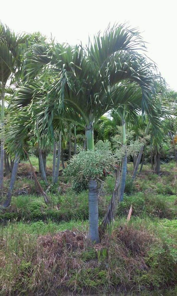 veitchia-merrillii-christmas-palm-adonidia-merrillii
