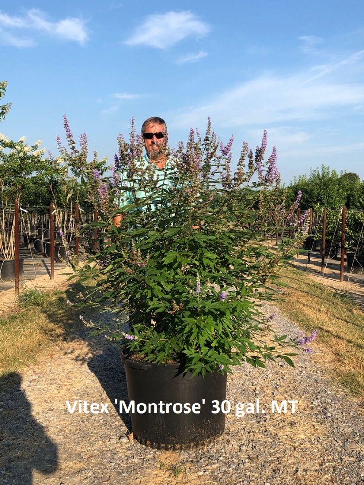 vitex-agnus-castus-montrose-purple-chaste-tree