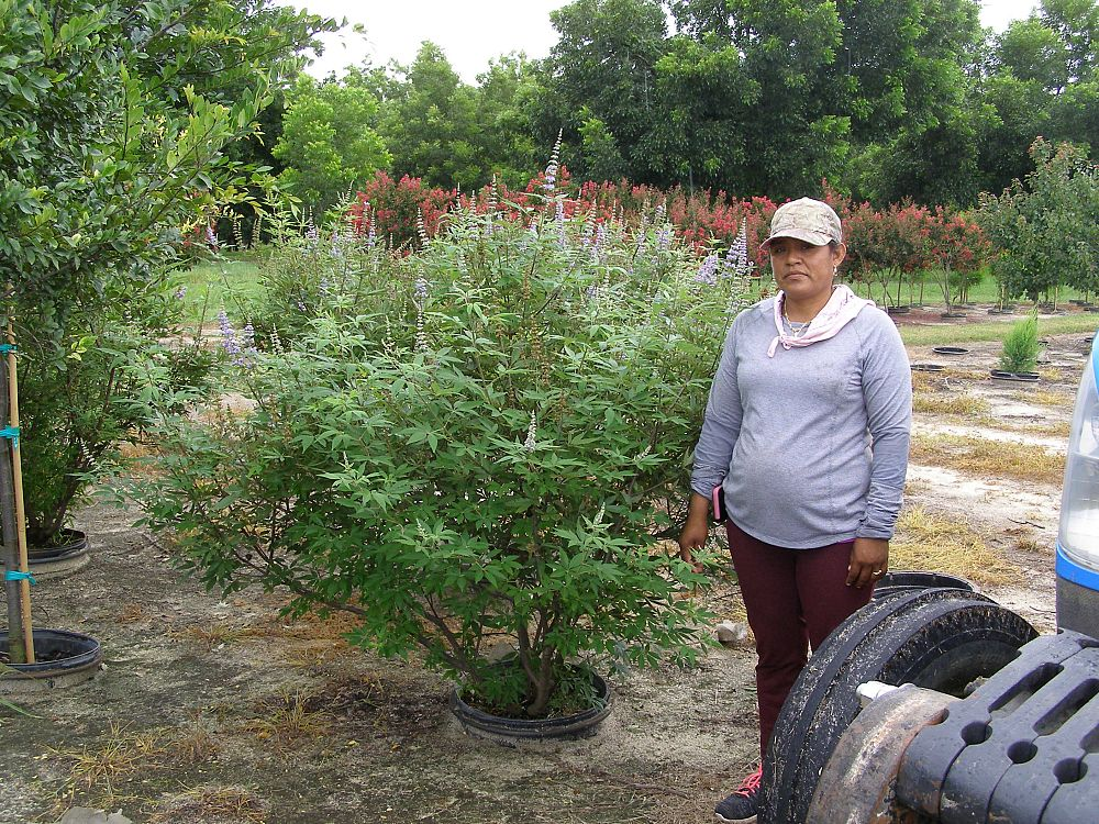 vitex-agnus-castus-shoal-creek-chaste-tree