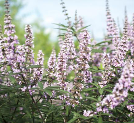vitex-agnus-castus-v07-sc-op-4-pink-pinnacle-trade-vitex