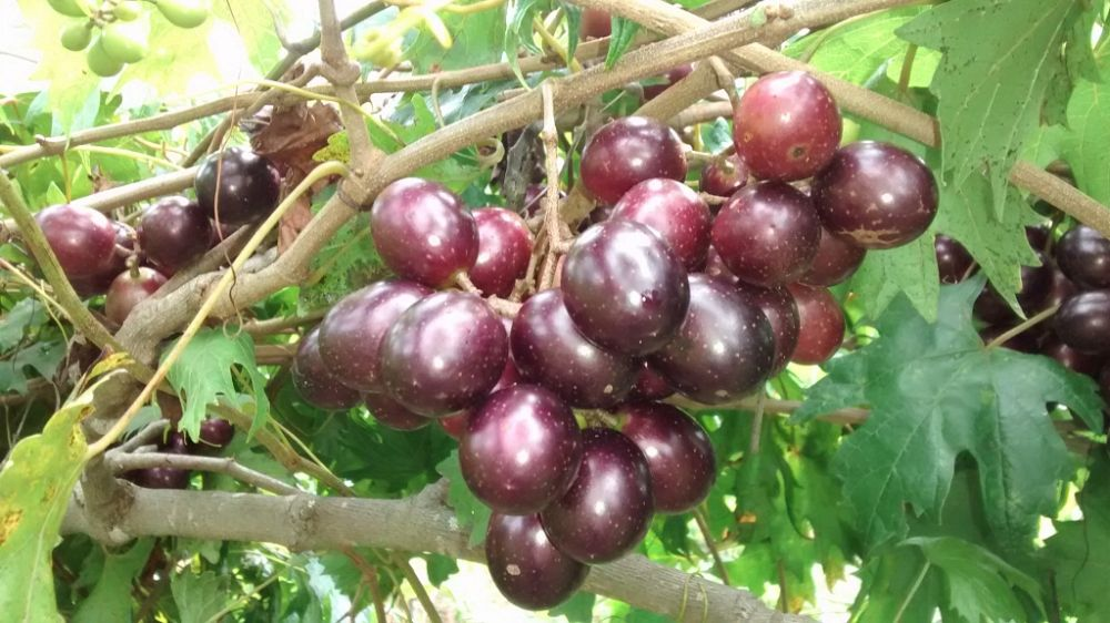 vitis-rotundifolia-southern-home-muscadine-grape