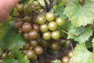vitis-rotundifolia-welder-muscadine-grape