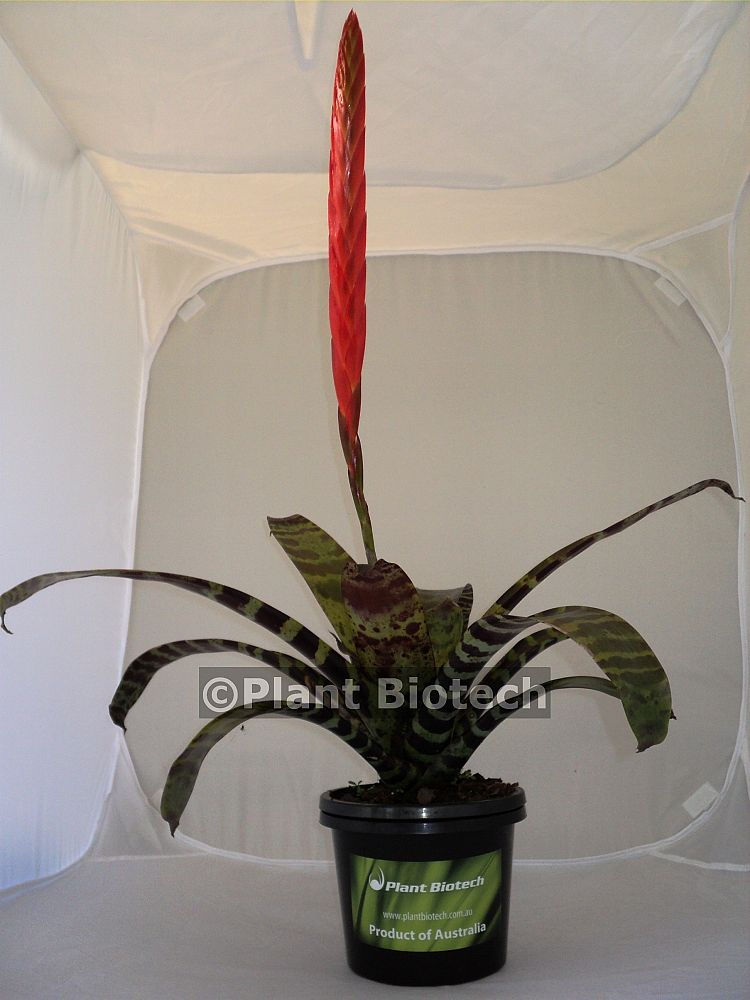 vriesea-splendens-bromeliad-flaming-sword