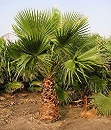washingtonia-filifera-x-robusta-washington-filibusta-mexican-desert-fan-palm-hybrid