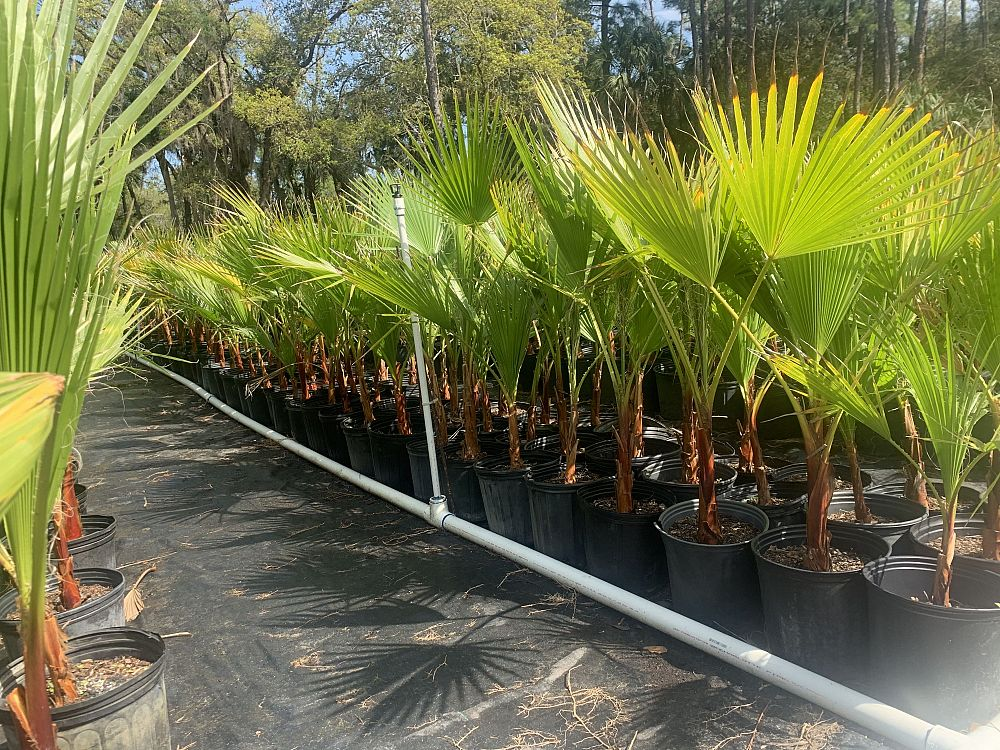 washingtonia-robusta-washington-palm-mexican-fan-palm