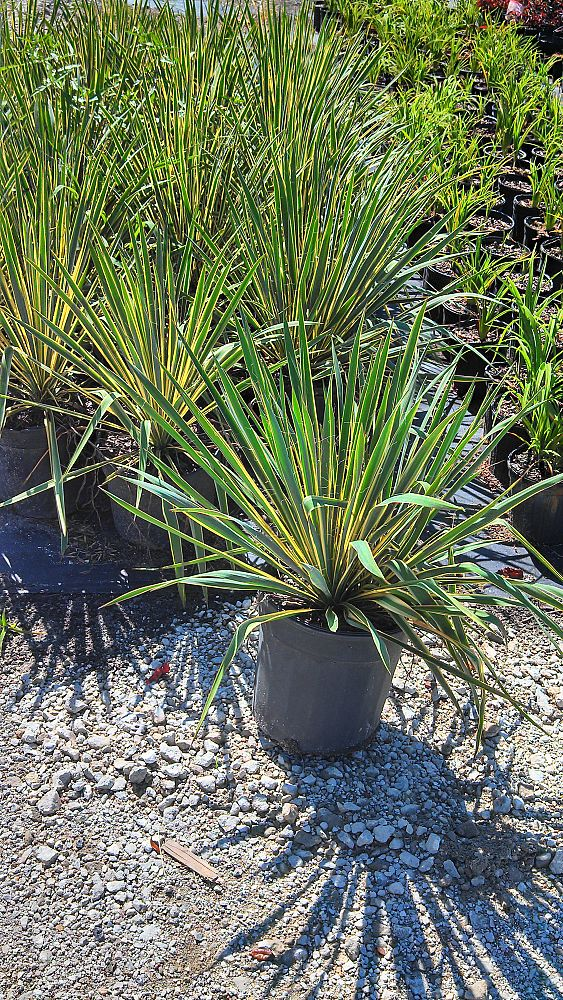 yucca-filamentosa-bright-edge-adam-s-needle