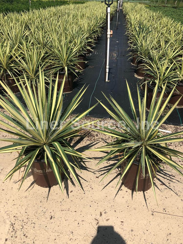 yucca-filamentosa-color-guard-adam-s-needle