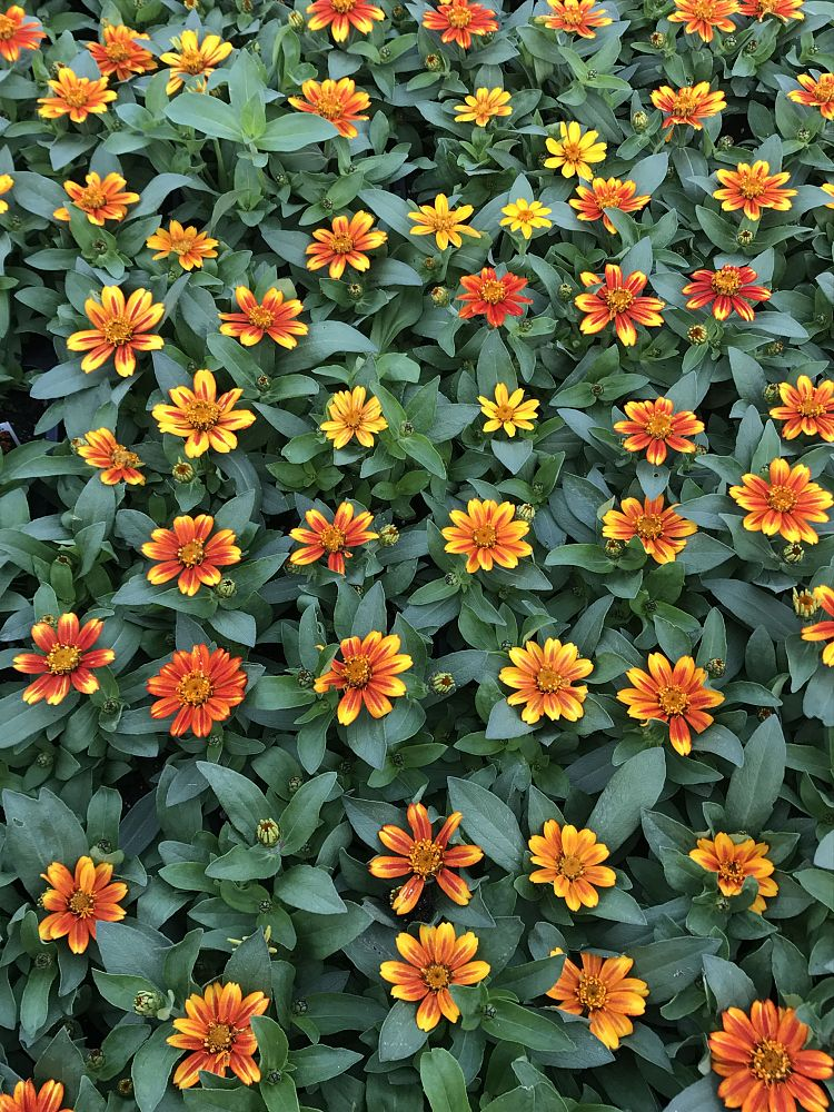 zinnia-marylandica-zahara-sunburst