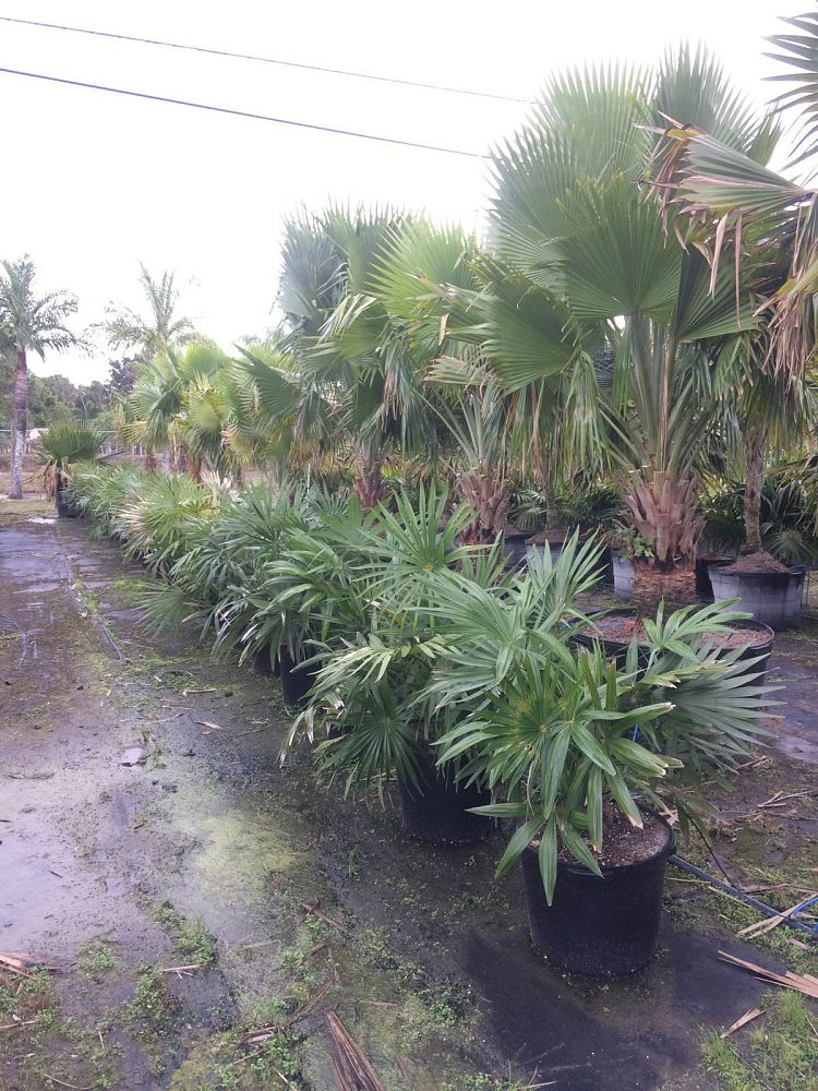 zombia-antillarum-zombi-palm