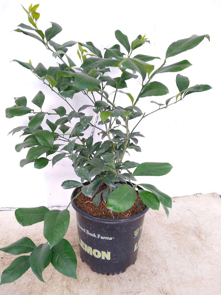 wait a minute vine plant