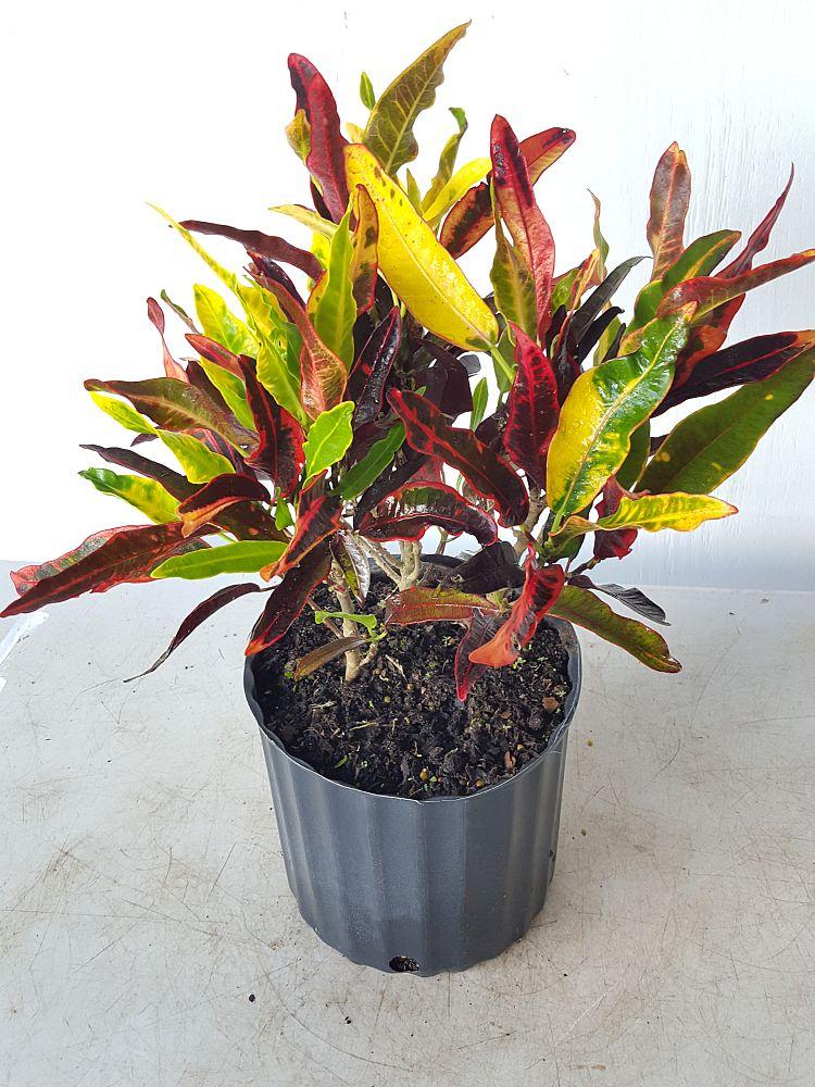 Codiaeum variegatum 'Stoplight', Croton - Large