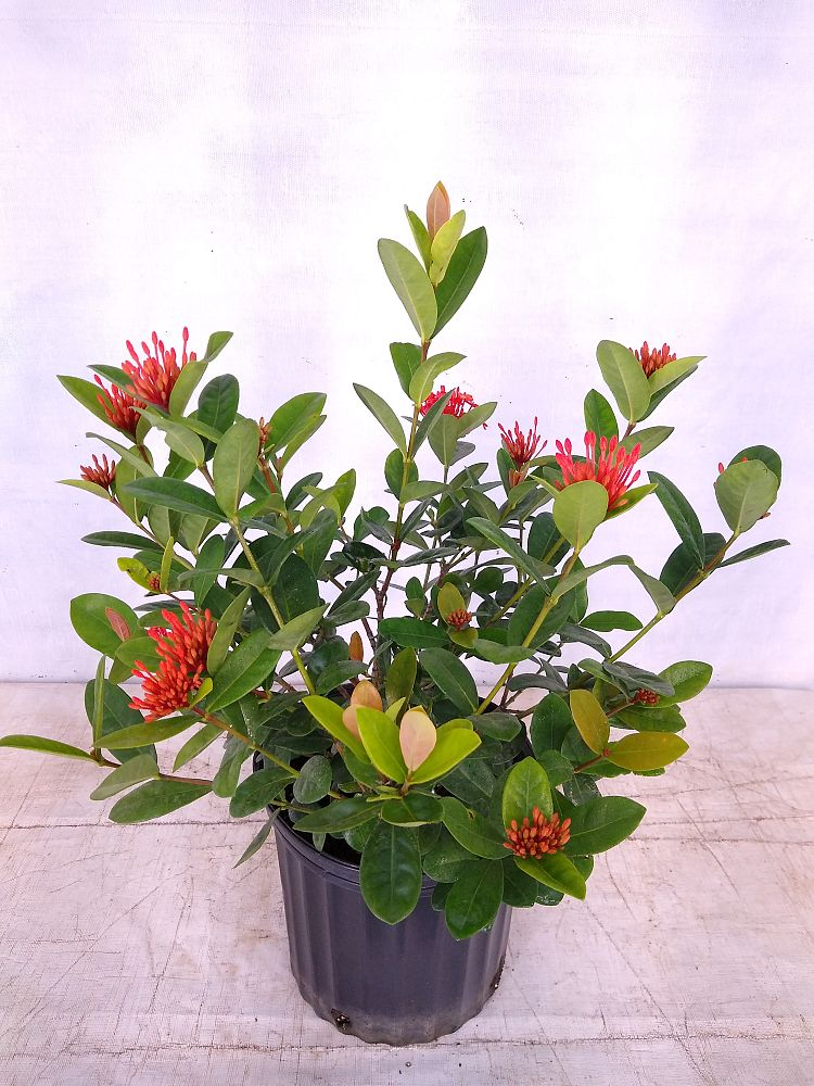 Buy Ixora In Orlando Florida Lake Mary Kissimmee Sanford: Buy Ixora, Flame Of The Woods, Jungle Flame, Jungel