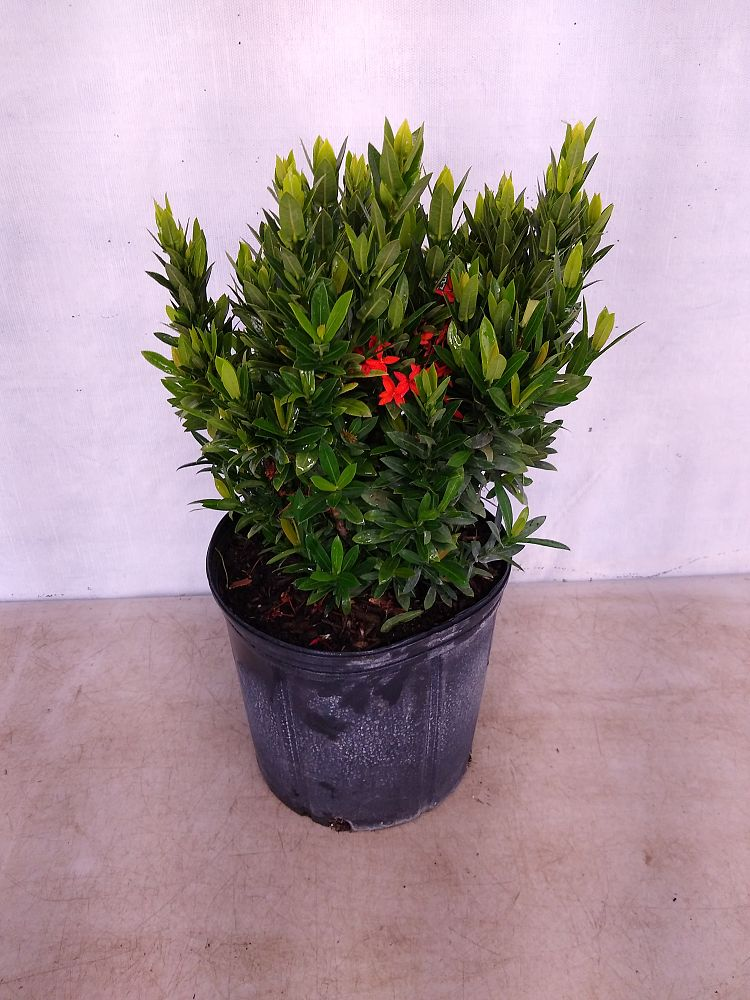 Buy Ixora In Orlando Florida Lake Mary Kissimmee Sanford: Buy Ixora Taiwanensis 'Dwarf Red', Flame Of The Woods