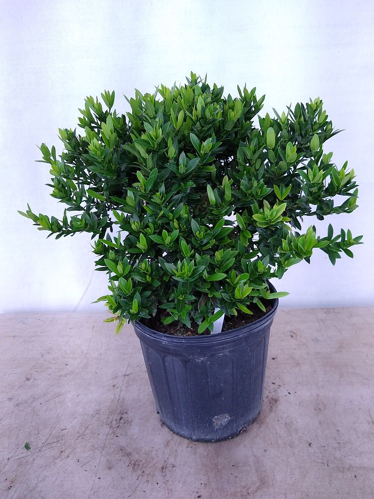 Buy Ixora In Orlando Florida Lake Mary Kissimmee Sanford: Buy Ixora Taiwanensis 'Dwarf Yellow', Flame Of The Woods